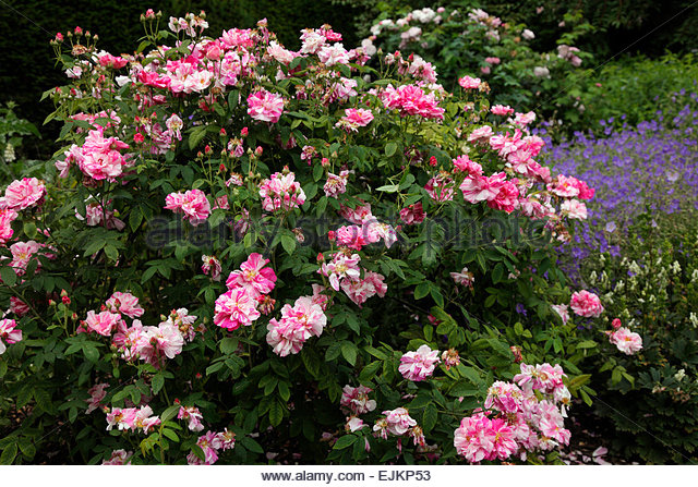 Rosa Mundi Stock Photos & Rosa Mundi Stock Images - Alamy