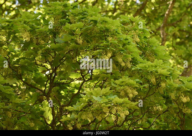 Green insect pollinated flowers of a sycamore (Acer pseudoplatanus) tree. Sevenoaks, Kent, UK. - Stock Image