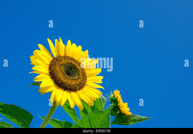 Sea Of Sunflowers Stock Photos Sea Of Sunflowers Stock Images Alamy