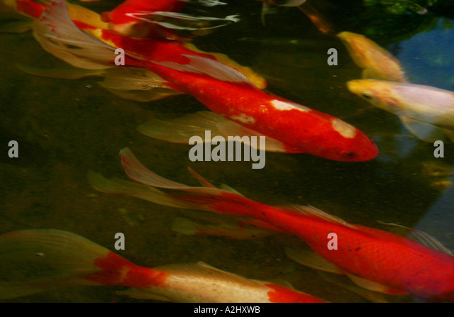 Garden pond and england koi stock photos garden pond and for Koi fish tail