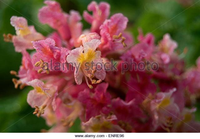 Chestnut tree flower stock photos chestnut tree flower stock pink and yellow chestnut tree flower stock image mightylinksfo Gallery