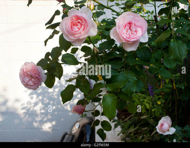 Elegant Flowering Roses In Garden Patio   Stock Image