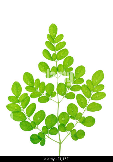 malunggay moringa olifeira seeds as capsules for hypertension How to eat, how to use moringa leaves, powder, beans, seeds moringa  after buying moringa, how to use moringa oleifera  buy moringa oleifera organic capsules.