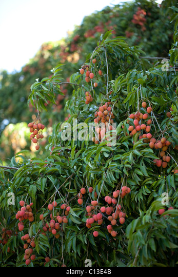 lychee fruits litchi chinensis trees stock photos  lychee fruits, Beautiful flower
