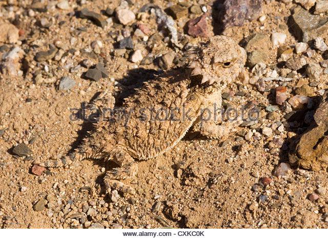 Phrynosoma stock photos phrynosoma stock images alamy for Regal flooring arizona