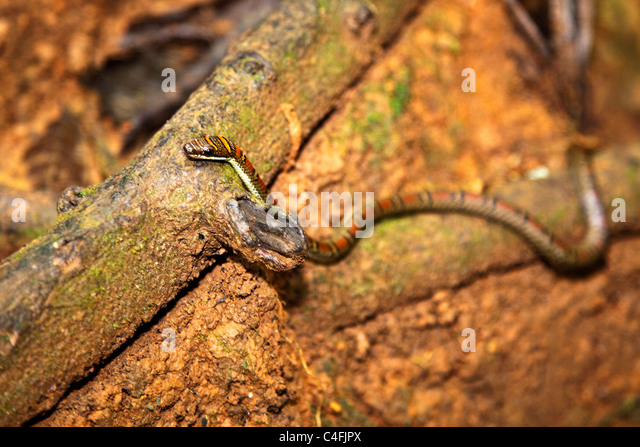 Twin Barred Tree Snake Pelias Stock Photos &a...