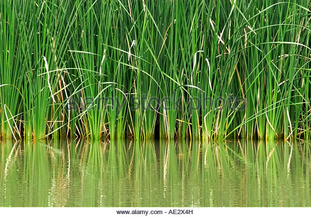 Reeds and tall grasses stock photos reeds and tall for Ornamental grasses for ponds