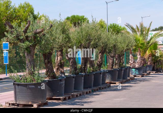 Olive tree pot garden stock photos olive tree pot garden for Olive trees for sale