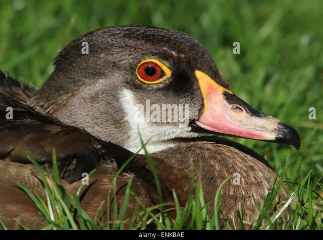Male wood duck head