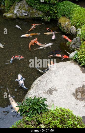 Kyoto koi stock photos kyoto koi stock images alamy for Shallow garden pond