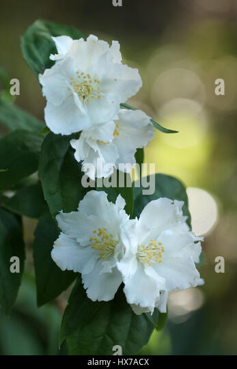 Hydrangeaceae stock photos hydrangeaceae stock images alamy - Philadelphus manteau d hermine ...