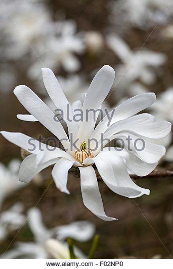 star magnolia magnolia stellata stock photos star. Black Bedroom Furniture Sets. Home Design Ideas