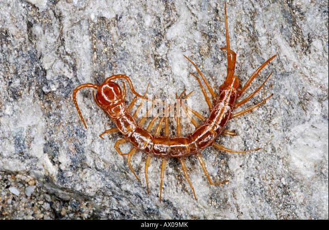 Centipedes Stock Photos & Centipedes Stock Images - Alamy