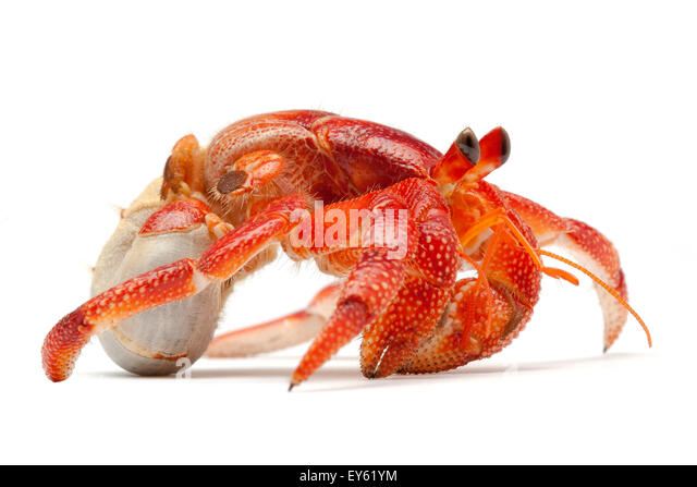 Hermit crab without shell - photo#24
