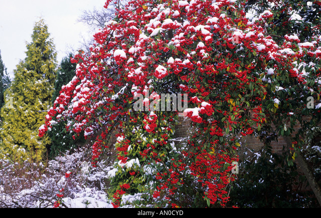 Winter border snow cotoneaster cornubia berries red autumn fruit stock photo picture and - Planting fruit trees in autumn ...