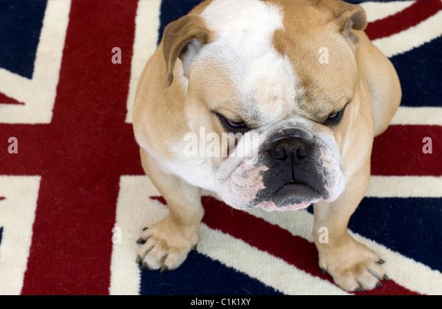 british bull dog stock photos  u0026 british bull dog stock images