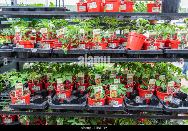 tomato plant pot stock photos tomato plant pot stock. Black Bedroom Furniture Sets. Home Design Ideas
