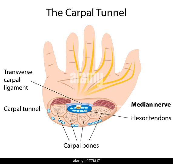 Anatomy carpal tunnel