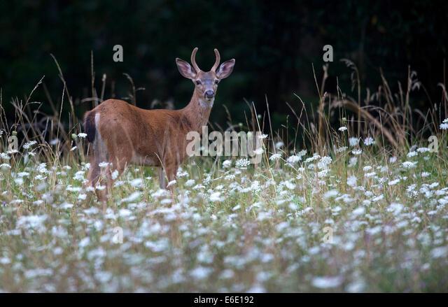 Roseburg Oregon USA 21st Aug 2014 A Young Blacktailed Deer Buck