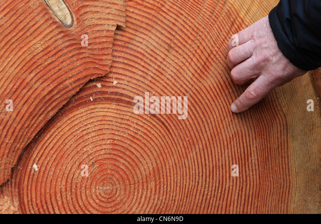 Image result for counting rings in a tree