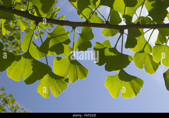 ginkgo biloba herbs stock photos ginkgo biloba herbs stock images alamy. Black Bedroom Furniture Sets. Home Design Ideas
