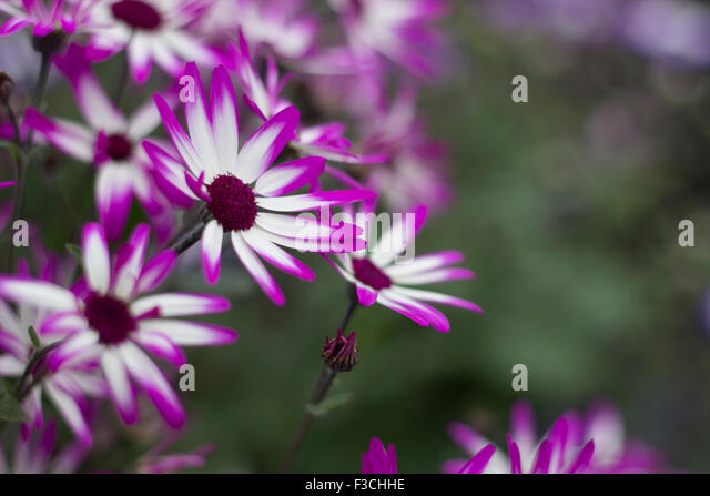 white flower with purple center stock photos  white flower with, Natural flower