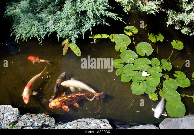Koi carp uk stock photos koi carp uk stock images alamy for Small koi carp