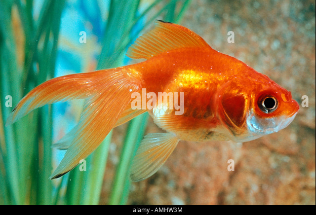 Japonais stock photos japonais stock images alamy for Aquarium 40l poisson rouge