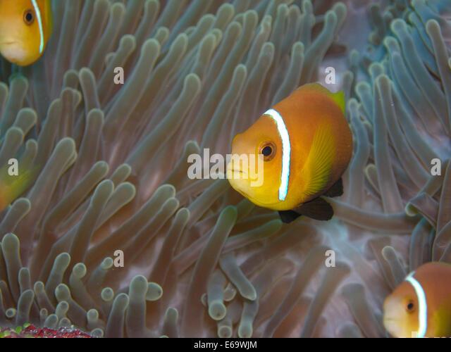 shrimp and sea anemone relationship