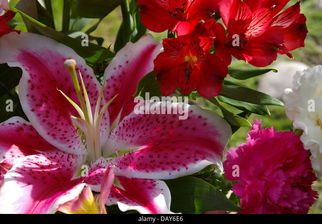 white pink star lily stock photos  white pink star lily stock, Beautiful flower
