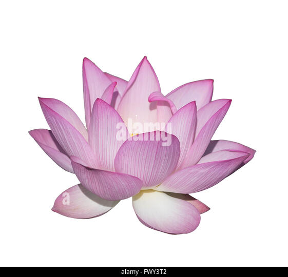 flower dark background lily stock photos  flower dark background, Beautiful flower