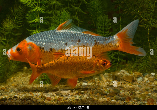 Koi carp cyprinus carpio stock photos koi carp cyprinus for Cyprinus carpio koi