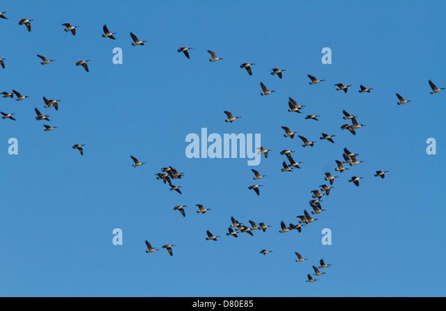 Canada Goose' novacks