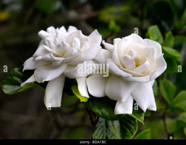 white gardenia flowers stock photos  white gardenia flowers stock, Natural flower