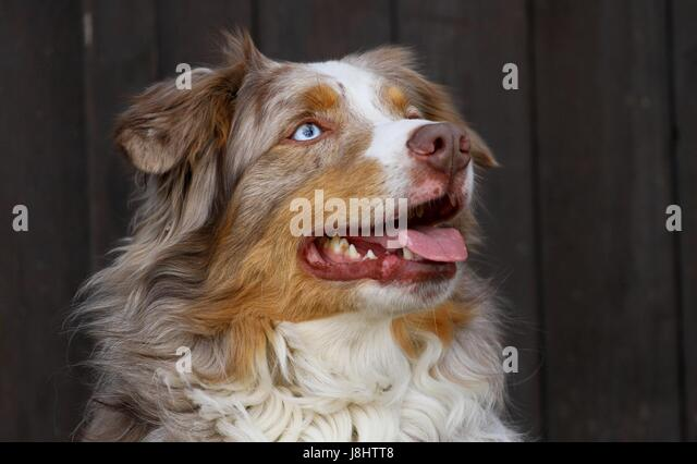 Australian Shepherd dog - Stock Image