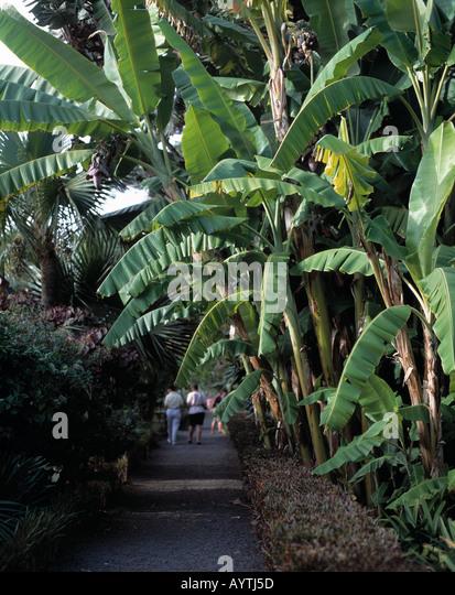 bananenbaum stock photos bananenbaum stock images alamy. Black Bedroom Furniture Sets. Home Design Ideas