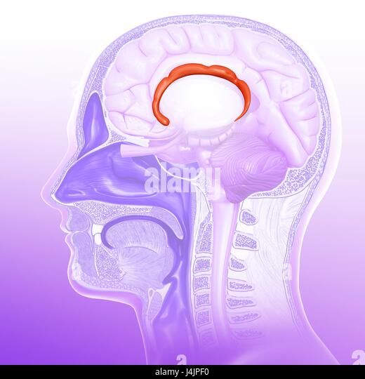Cingulate Gyrus Stock Photos & Cingulate Gyrus Stock Images - Alamy