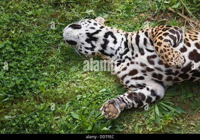 Black jaguars eating prey