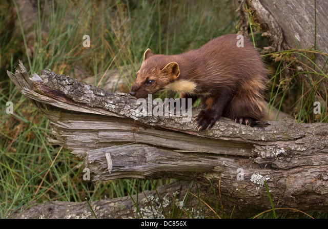 pine marten stock photos pine marten stock images alamy. Black Bedroom Furniture Sets. Home Design Ideas