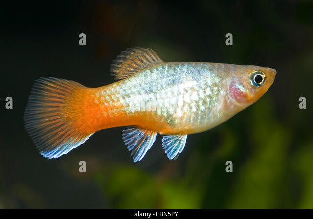 Southern Platyfish (xiphophorus Maculatus) Stock Photos & Southern ...