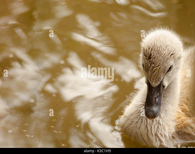 ugly duckling swan stock photos amp ugly duckling swan stock