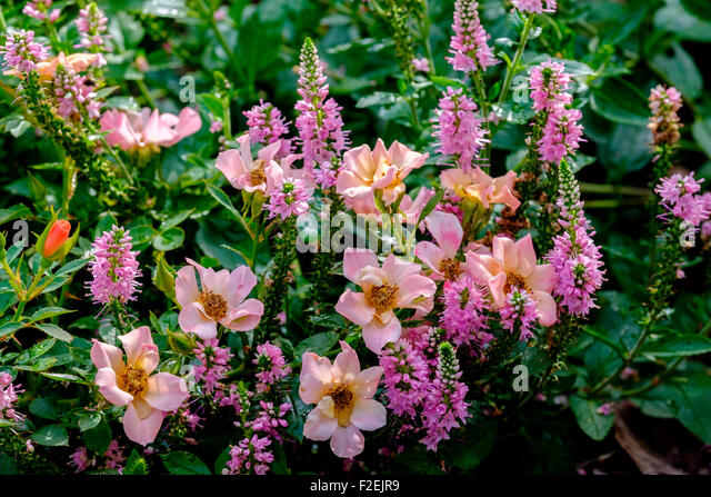 Roses In Garden: Pink Hyssop Stock Photos & Pink Hyssop Stock Images