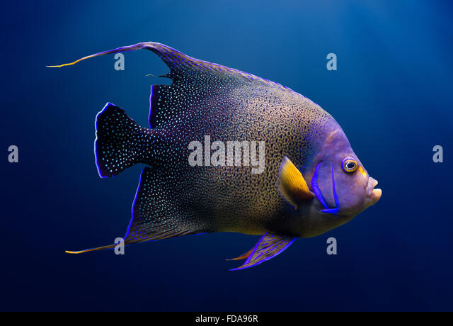Adult koran angel fish