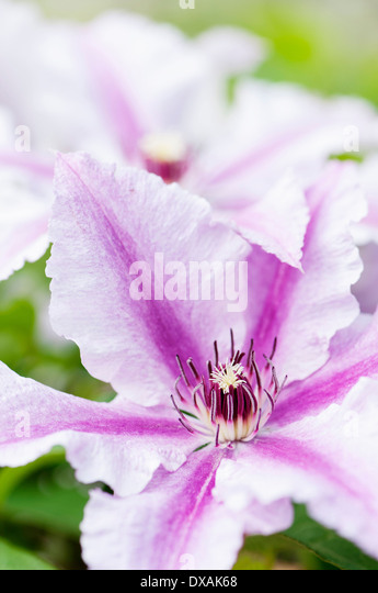 double clematis flower stock photos double clematis. Black Bedroom Furniture Sets. Home Design Ideas