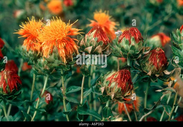 Safflower Plants Stock Photos & Safflower Plants Stock Images - Alamy
