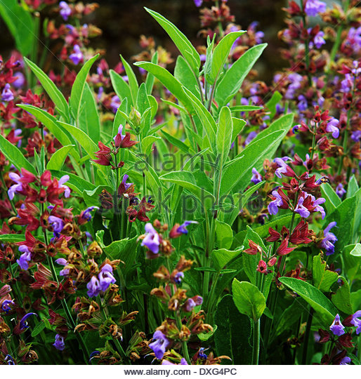 how to grow sage plant