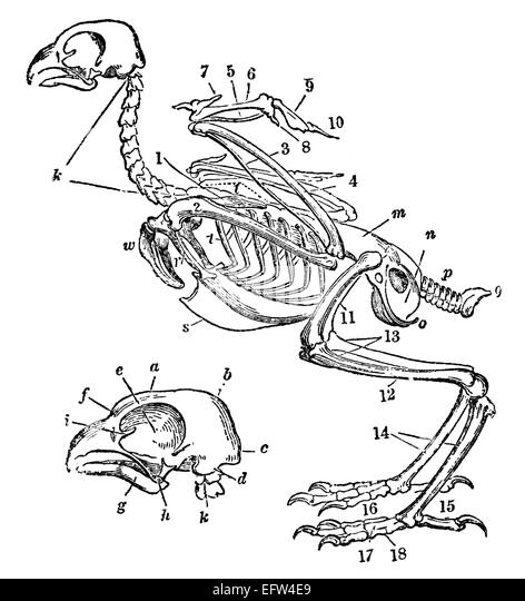 victorian engraving of a skeleton of a bird digitally restored image from a mid - Animal Anatomy Coloring Book