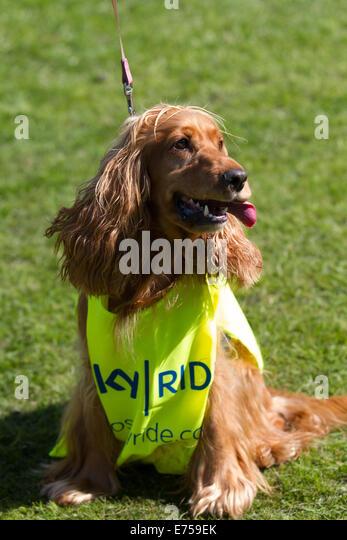 spaniel dog wearing fashion dog stock photos  u0026 spaniel dog wearing fashion dog stock images