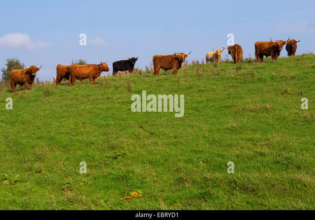 Highland Cattle Stock Photos & Highland Cattle Stock ...