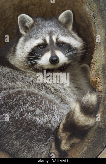 Racoons Stock Photos Amp Racoons Stock Images Alamy